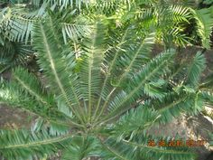 Cycad Species | Cycad species in South Africa