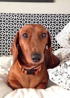 ❤️This dog is so cute and i want the dog to be mine.........LOVE DASHUNDS