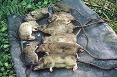 A plague of rats on Big South Cape Island in 1964 was responsible for the extinction of several rare bird species. These rats were trapped and killed in a single night.