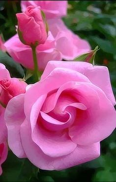 nice Beautiful pink rose...