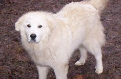 Great Pyrenees Dog pHOTO   PUPPY CARE CENTER: Great Pyrenees Puppy Care Center and The dog breed ...