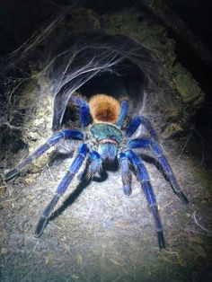 You want to turn your crawlspace into an environment these creature do not want to live. Cool Insects, Bugs And Insects, Beautiful Creatures, Animals Beautiful, Exotic Pets, Exotic Animals, Creepy Animals, Spiders And Snakes, Itsy Bitsy Spider