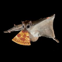 Flying squirrels eat pizza.    Flying squirrels are active throughout the year and are highly sociable. They often den and eat pizza  together, especially when the weather is harsh. Haha.