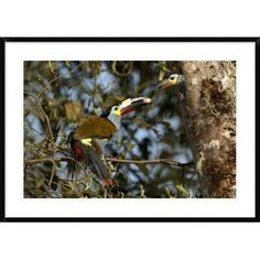 """Global Gallery 'Plate-Billed Mountain Toucan feeding Young' Framed Photographic Print Size: 30"""" H x 42"""" W x 1.5"""" D"""