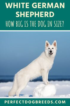 The White German Shepherd size can be classified as medium, with males between inches tall and weigh between 75 and 85 pounds. Read on for more details on their appearance. Original German Shepherd, German Shepherd Dogs, Large Dog Breeds, Large Dogs, White Shepherd, Medium Sized Dogs, Service Dogs, Family Dogs, New Friends