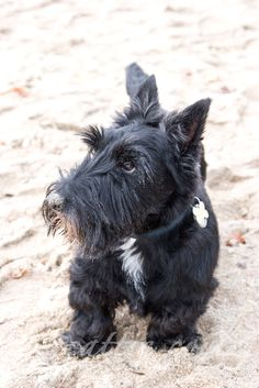 Scottish Terrier Sadie
