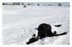 """South Dakota farmers describe 'worst storm in 150 years' 12/2/13 Ranch folk help each other and in an inspiring act of charity, Ty Linger, a young Christian rancher from Montana, has created Heifers For South Dakota - a sort of Cattle Aid for farmers who have lost livestock.""""My inspiration is Galatians 6:10,"""" he beams. Those lines from the Bible say if you have the chance, do some good - and Ty's leap of faith has seen farmers from neighboring states donate 650 cattle to ranchers in need."""