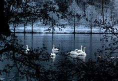 Photograph Swans by Patrik Carlsson on 500px