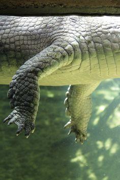 Gharial, Crocodile Park, Tamil Nadu.