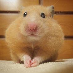 いいね!813件、コメント27件 ― ri. koさん(@kina.ri)のInstagramアカウント: 「* おやつ待ち。 . #ほっぺ膨らんでますよ #ご飯は後で食べるから先におやつ #もらえるまで待ちますよ * * #ハムスター #ゴールデンハムスター #キンクマ #キンクマハムスター #ふわもこ部…」 Long Haired Hamster, Syrian Hamster, Fantasy Island, Cute Hamsters, Super Cute Animals, Rodents, Meme Faces, Animal Memes, Guinea Pigs