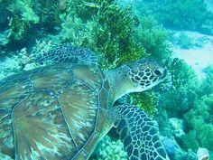 Turtle Cheloniidae Dermochelyidae | Taken diving the Ras Mohammed National Park. Sinai Penninsular - Egypt