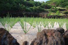 Vietnam News: Lý Sơn to develop organic garlic farm