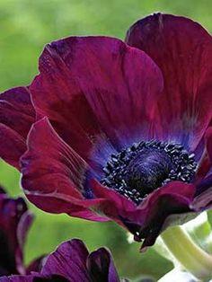 Anemone, Bordeaux, Anemone coronaria 'Meron Bordeaux' My favorites! Amazing Flowers, Beautiful Flowers, Exotic Flowers, Fresh Flowers, Purple Flowers, Spring Flowers, Anemone Flower, Cactus Flower, Flower Bouquets