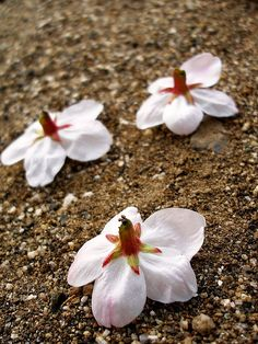 what is wabi sabi? cherry blossoms on the sand
