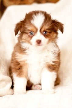 Lulus Lil Aussies, Toy Australian Shepherds <3
