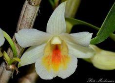 Orchid: Dendrobium 'Christy Dawn' - Dawn Maree x christyanum