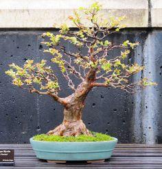 American Bonsai at the NC Arboretum - Natchez Crape Myrt