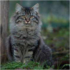 norvegien with beautiful colouring Cute Kittens, Cats And Kittens, Animals And Pets, Cute Animals, Animal Fun, Long Haired Cats, Photo Chat, Cat Carrier, Norwegian Forest Cat