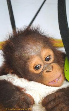 Cute Baby Monkey, Monkey See Monkey Do, Happy Animals, Cute Baby Animals, Beautiful Creatures, Animals Beautiful, Animal Pictures, Cute Pictures, Baby Orangutan