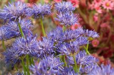 How to Grow Sheep's Scabious and Sheep's Bit. Advice on Growing Jasione Plants in Your Garden. Partial Shade Plants, Sun Loving Plants, Pom Pom Flowers, Soil Ph, Hardy Perennials, Garden Borders, Early Spring, Sheep, Garden Ideas