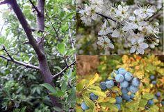 Irish native Blackthorn tree / Prunus spinosa / Draigean