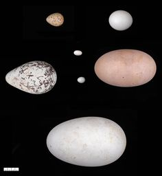 Why Do Bird Eggs Have Different Shapes? Look to the Wings
