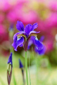 ~~Iris sanguinea by nobuflickr~~