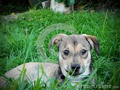 A view of a crossbreed rescue pup watching in long grass. Guinea Pigs, Goats, Labrador Retriever, Pup, Cute Animals, Horses, Labrador Retrievers, Pretty Animals, Cutest Animals
