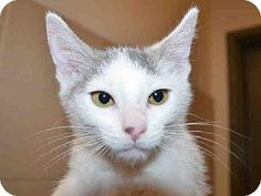 This cute and adorable little girl kitten is MINNIE.  She is available for adoption at Contra Costa Animal Services in Martinez, CA.  Won't you consider giving a gorgeous little kitten a FOREVER loving home.  Please network & share so we may find MINNIE a home.
