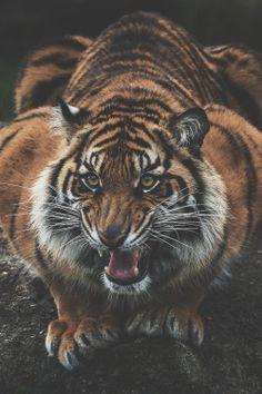 ikwt:   Sumatran Tiger   (John Vargas)   ikwt