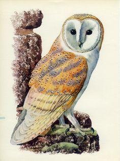 """Barn Owl"" par Charles Tunnicliffe"