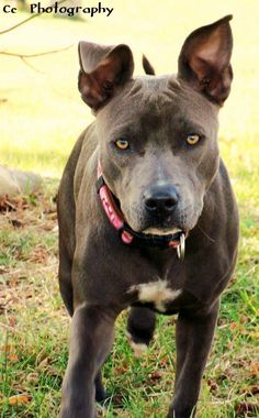 Doesa..  Blue Nose Pit Bull