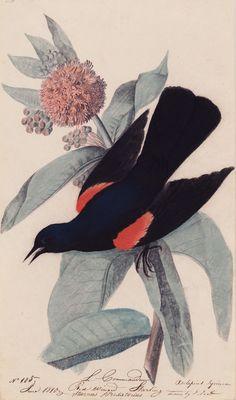 File:Houghton MS Am 21 (47) - John James Audubon, red winged blackbird. Very gorgeous!