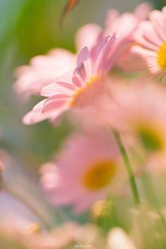FLOWER MARGUERITE MACROPHOTOGRAPHY