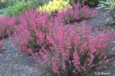 Erica cinerea 'C.D. Eason' - Twisted Heath . acid soil moist to dry, broadleaf evergreen. may flower for 6 to 9 months. i killed this once