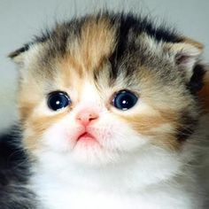 Scottish Fold Calico kitten - I want this kitteh!