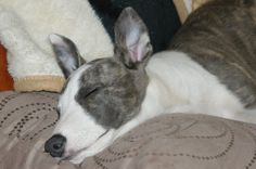 puppy Puzzle is asleep, but the ears are awake  :o)