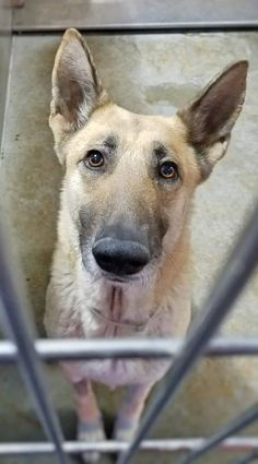3/31/18 #DOWNEY, #CA She has 48 hours!! Yolie has been waiting for a while now to get adopted. Please share her! She's in playgroup! YOLIE ID: #A5155398 GERM SHEPHERD Female 6 years Downey Animal Shelter Downey, CA (562) 940-6898