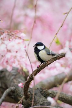 【とり、鳥、Bird】 sakura & japanese tit by Pretty Birds, Love Birds, Beautiful Birds, Frühling Wallpaper, Parus Major, Spring Sign, Signs Of Spring, Little Birds, Colorful Birds