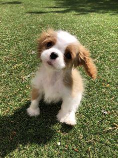 Super Cute Puppies, Cute Baby Dogs, Super Cute Animals, Cute Dogs And Puppies, Cute Little Animals, King Spaniel, Spaniel Puppies, Baby Animals Pictures, Cute Animal Pictures