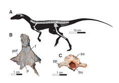A: Skeletal reconstruction of Ixalerpeton polesinensis. B: Skull roof. C: Braincase. (Adapted from Cabreira et al., 2016)