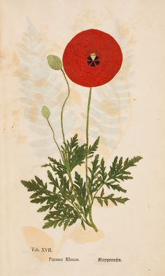 Red poppy Ectypa Vegetabilium, (Halle, 1760-1764)  Author: LUDWIG, Christian Gottlieb (1709-1773) Artist: N/A