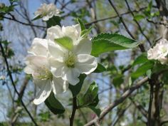 """""""Apple Blossom""""  Pretty, fragrant flowers bloom, soon to be juicy summer apples! -Corihanna Photography"""