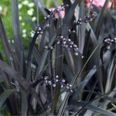 3 Ophiopogon Niger Black Mondo Grass Hardy Evergreen low ground cover plant