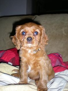 Toy Cavalier King Charles
