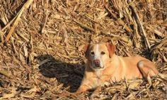 ChooChoo, an Iowa farm dog.