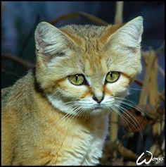 Sand Cat (Felis margarita, kocka poustni) from ZOO Brno ____________ INFO ABOUT THE ANIMAL: Name: Sand Cat (Felis margarita) Location: Sahara, Arabian Desert, deserts of Iran and Pakistan Size: 50 ... woxys