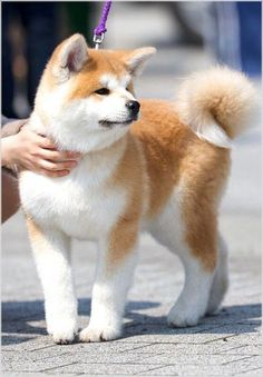 Akita Puppies, Akita Dog, Cute Dogs And Puppies, Baby Dogs, I Love Dogs, Pet Dogs, Dog Cat, Doggies, Lab Puppies