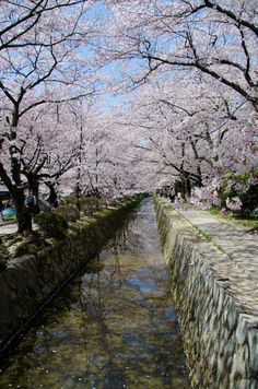 The Philosophers Path in Kyoto follows a stone canal (Lake Biwa Canal) that's lined with hundreds of cherry trees. It's one of the best hanami spots in Kyoto