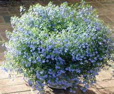 Lobelia - a little blue flowered annual! Great for containers, hanging baskets & Window Boxes Types Of Blue Flowers, White And Blue Flowers, Purple Flowers, Lobelia Flowers, Flowers Perennials, Planting Flowers, Hanging Basket Garden, Hanging Flower Baskets, Blue Garden
